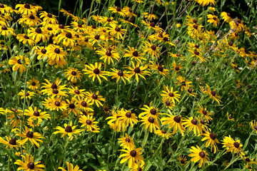 A Field Full Of Beautiful Bloomed Black Eyed Susan (Rudbeckia Hirta) Flowers.