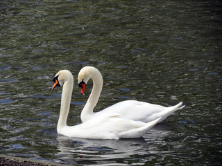 Europe, Belgium, West Flanders, Bruges,a pair of  beautiful white swans floating on the pond