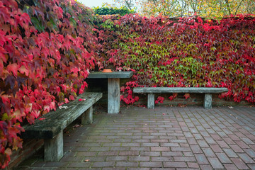 Two wooden benches and table surrounded by a wall overgrown by a creeper in beautiful autumn colors.