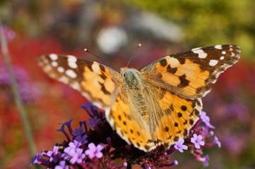 Schmetterlinge Deutschlands - Distelfalter