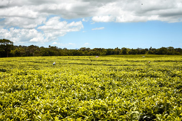 Tea plantation (Bois Cheri) in the foothills. Mauritius - Image