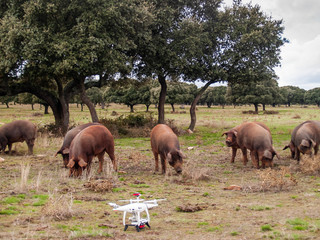 A drone in the dehesa next to Iberian pigs in Spain