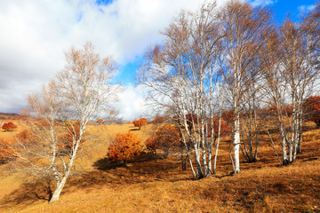 Inner Mongolia Ulan grassland scenery white birch