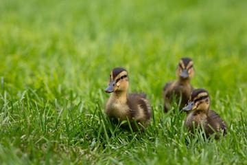 Three Duckling Babies on Green Grass