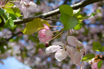 Twig of blooming apple tree with white and pink flowers and buds. Blooming garden in spring.