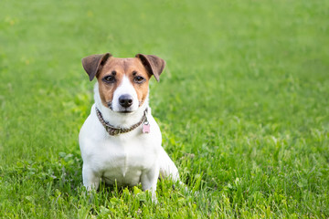 Dog Breed Jack Russell Terrier Sits On Backdrop Of Green Spring Grass And Looks Directly Forward. Nice And Cute Pet. Concept Of Healthy And Cheerful Active Dog.
