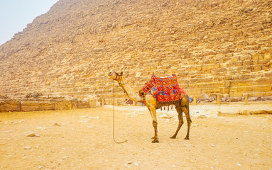 The lonely camel in Giza, Egypt