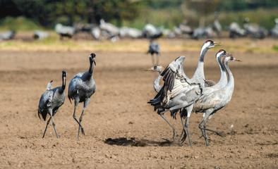 Dancing Cranes in arable field.  Common Crane or Eurasian crane, Scientific name: Grus grus, Grus communis.