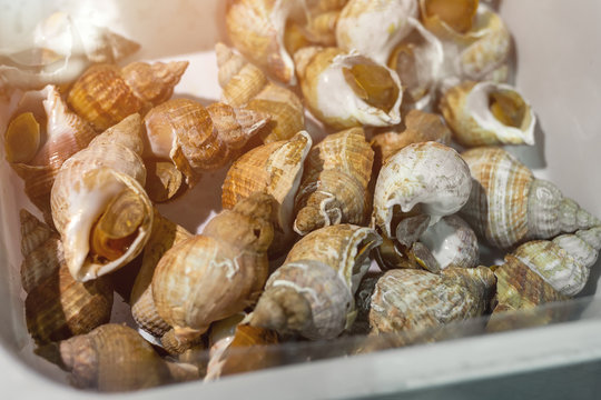 Raw whelk in box at seafood market. Fresh sea snails