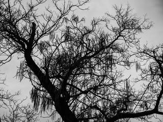 Black and white acacia tree silhouette photo, cloudy autumn evening.