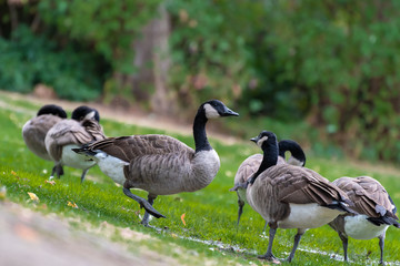 Group of Canada Geese (Branta Canadensis) walking and standing on grass in a public nature park in Vancouver, Canada