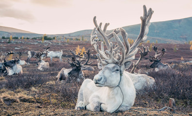 magnificent white rein deer in northern Mongolia Wall mural