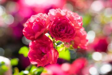 Rose flower on a green blur background.