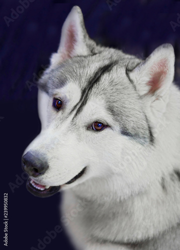Husky Dog Siberian Huskies Come From The Vast Snowy Expanses Of