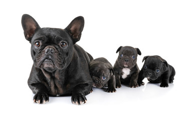 Poster Franse bulldog family french bulldog
