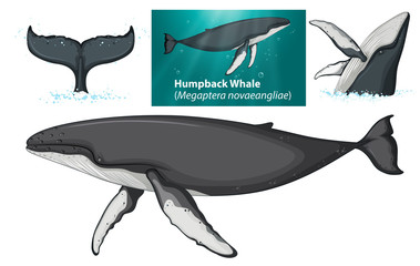 A humpback whale character