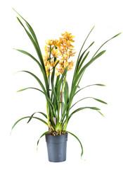 Fotorollo Orchideen cymbidium in studio