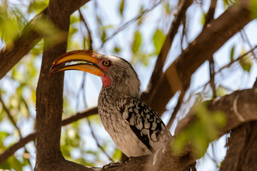 Yellow-billed Toko on the tree