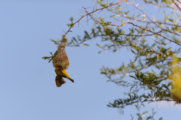 Weaver bird in the nest