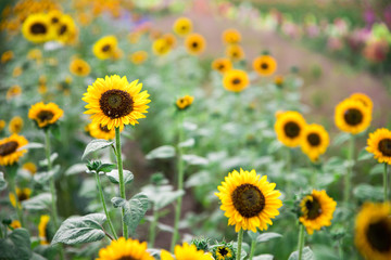Field of blooming sunflowers, summer