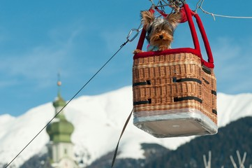 Little dog in a basket of hot air balloon during the balloon festival in Pusteria valley, in the background the bell tower of Dobbiaco church, dolomites, Trentino Alto Adige, Italy, Europe