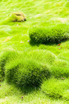 Vibrant and juicy clumps and bumbs of Korean velvet grass Zoysia tenuifolia or zoysiagrass