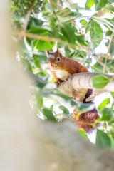 Ecureuil roux dans un arbre