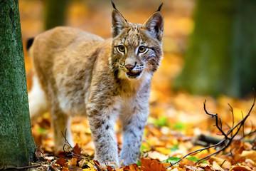 Foto op Aluminium Lynx Junger Luchs im Herbstwald