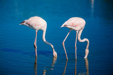 Pink flamingo birds in their habitat zone on rivers and swamps get food for crustaceans