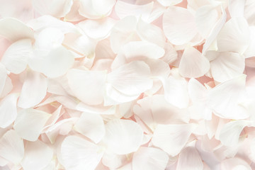 Background texture made of beige petals roses on pink background. Flat lay, top view. Valentine's background.