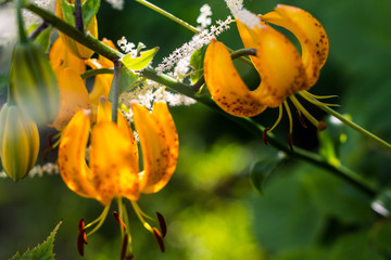 Asiatic yellow hybrid lilies