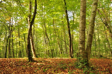 Forest, spain forest, beech, nature, trees