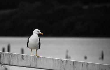 Herring Gull perching
