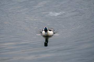 Bufflehead Duck Swimming