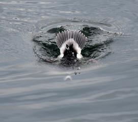 Bufflehead Duck Diving
