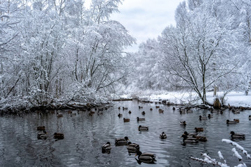 Ducks swimming in a pond a cold december day with snowy trees