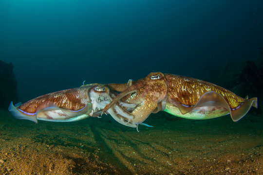 Pharaoh Cuttlefish pair mating