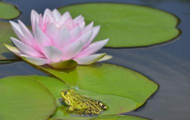 Frosch mit Seerose