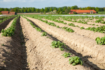 Kartoffelanbau - AGRARBILDER
