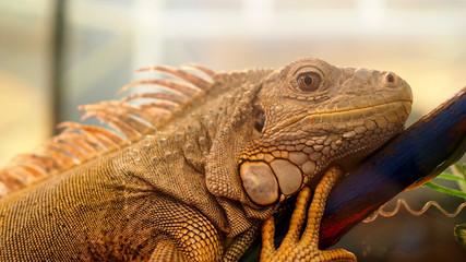 Closeup shoot of iguana face with skin texture detail.
