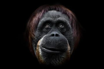 Face phlegmatic orangutan close-up