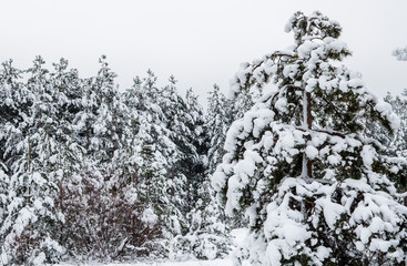 Winter pine forest covered with white snow