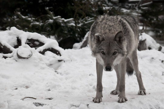A wolf looks directly at you with its head down — a wolf's gaze; a wheel from a peasant cart lies in the snow next to it.