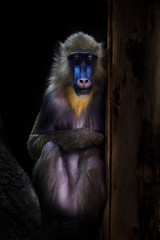 A beautiful madrill monkey with a blue face and golden hair sits modestly in the dark, her modest appearance