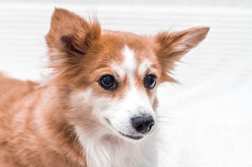 Portrait of a white-red dog close-up. Dog breeds corgi