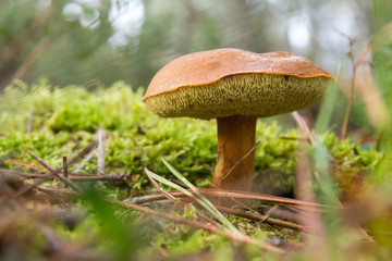 Bay bolete on the green moss