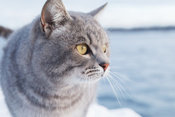 Grey striped cat walks on the snow-covered Bank of the river or the sea on a frosty Sunny day