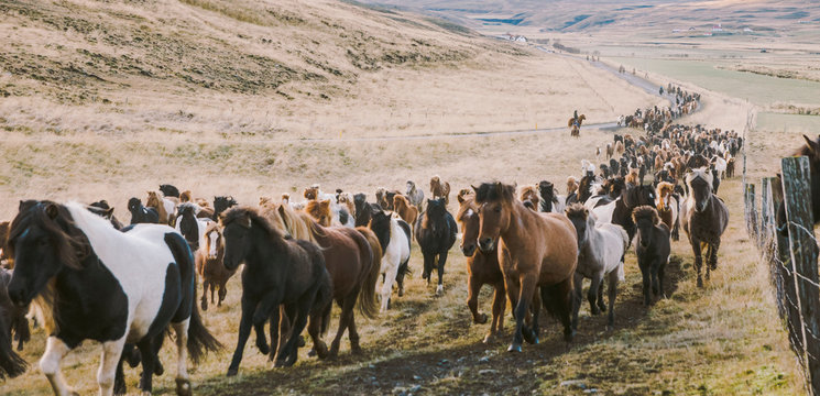 Herd of lovely Icelandic horses riding towards the meeting at the farm