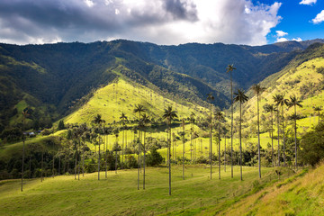 Wax palm trees in the Cocora Valley ,Colombia