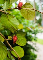 Two hazelnut nuts on a hazel branch.